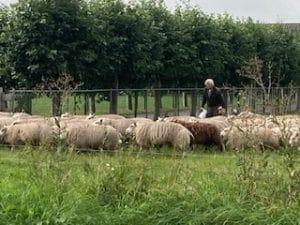 Onze schapen voor vlees en vachten